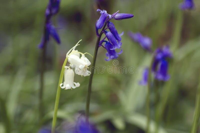 Les jacinthes des bois blanches et bleues se ferment  image stock
