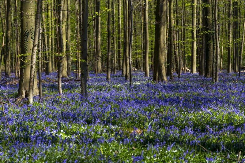 Les jacinthes des bois couvrent dans Tranendal (vallée de larme) dans Hallerbos, Belgique image libre de droits