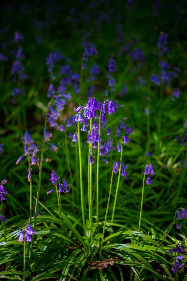 Les jacinthes des bois de floraison fleurissent au printemps, le Royaume-Uni image stock