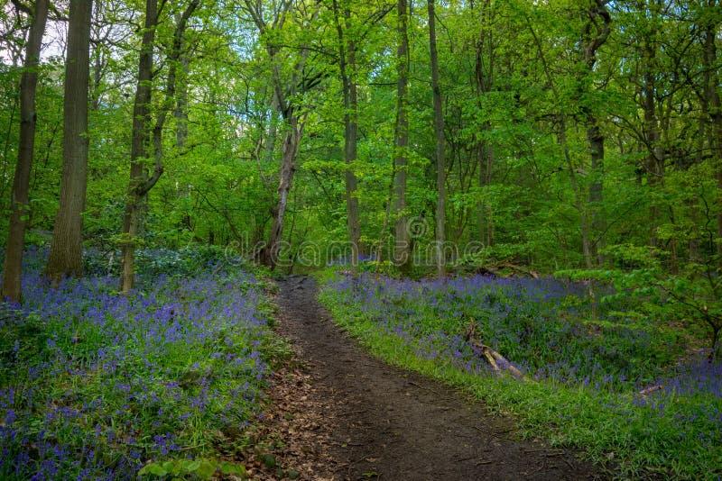 Les jacinthes des bois de floraison fleurissent au printemps, le Royaume-Uni photos stock