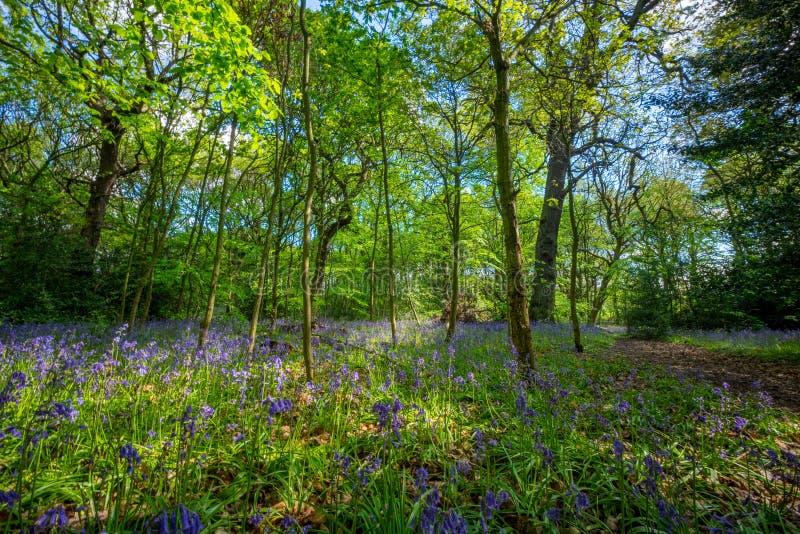Les jacinthes des bois de floraison fleurissent au printemps, le Royaume-Uni photographie stock