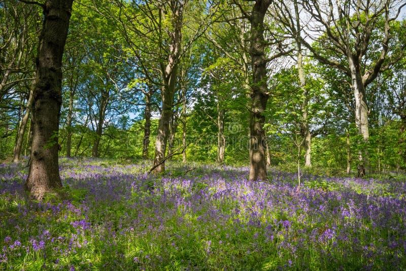 Les jacinthes des bois de floraison fleurissent au printemps, le Royaume-Uni photo libre de droits