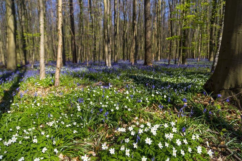 Les jacinthes des bois tapissent dans Tranendal (vallée de larme) dans Hallerbos, Belgique photographie stock