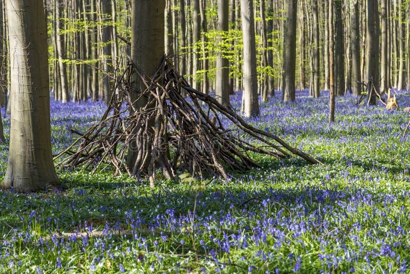 Les jacinthes des bois tapissent dans Tranendal (vallée de larme) dans Hallerbos, Belgique photo libre de droits