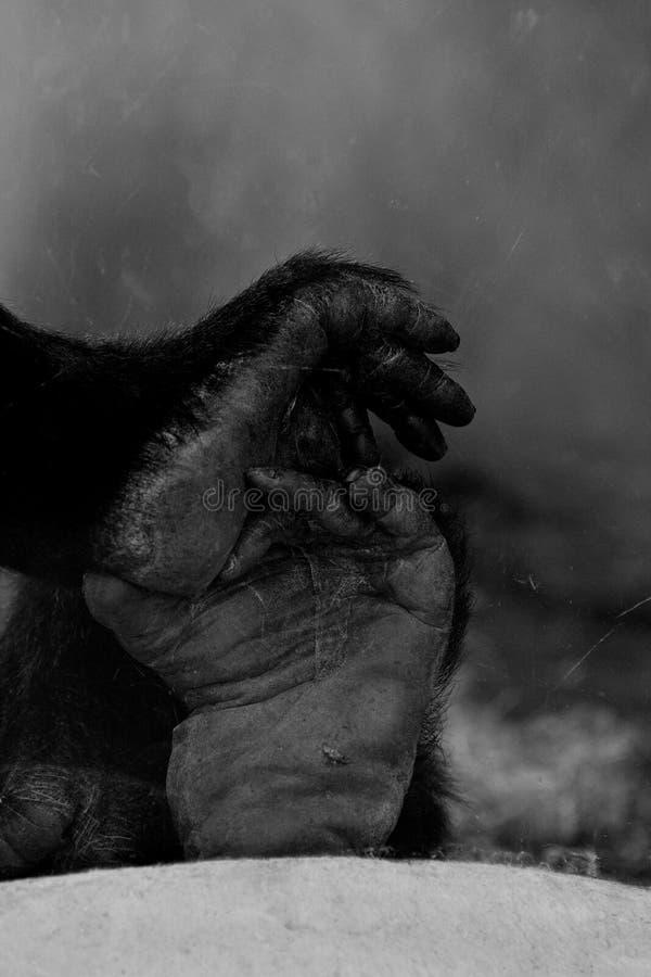 Les jambes du gorille photos stock