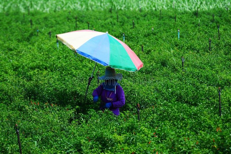 Les jardiniers rassemblent des graines de piment dans le jardin de piment, avec les parapluies multicolores, image stock