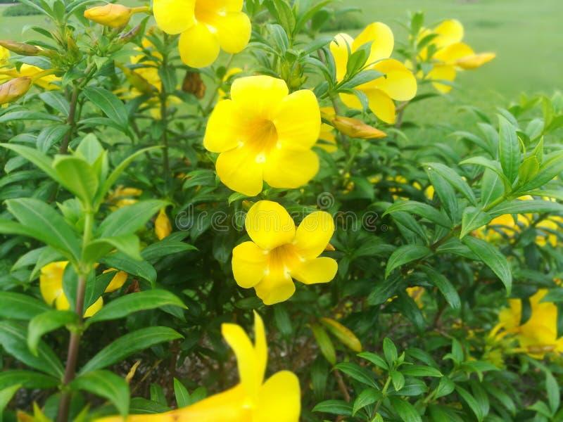Les jaunes fleurissent photo libre de droits