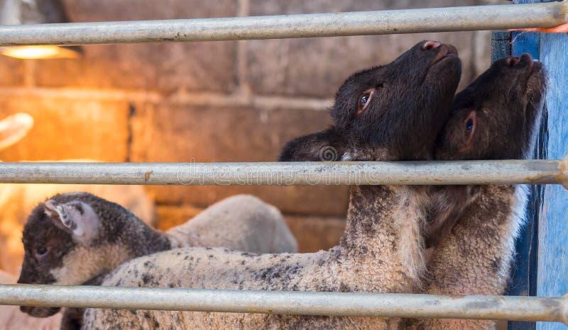 Les jeunes agneaux dans l'attente organique de ferme leur allaitent au biberon photos libres de droits