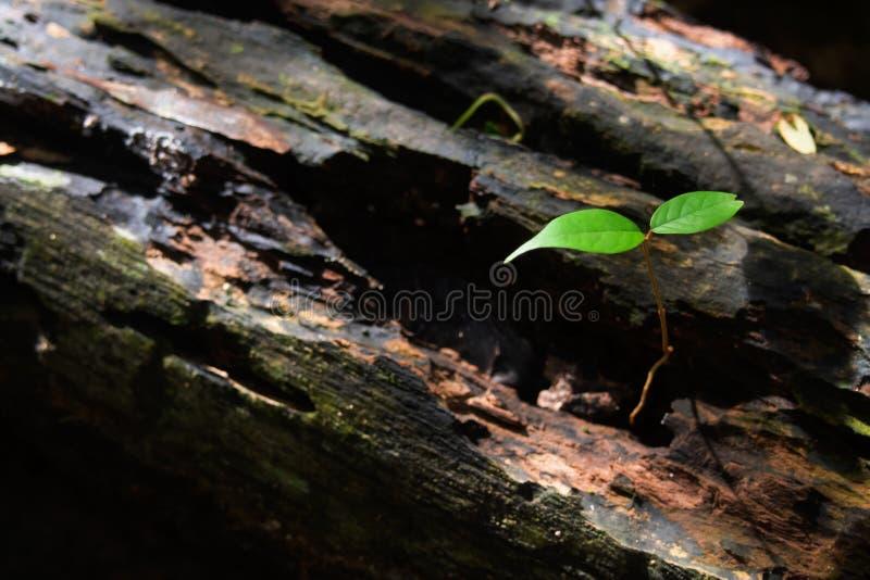 Les jeunes arbres se développent dans les ruines des arbres de décomposition images libres de droits