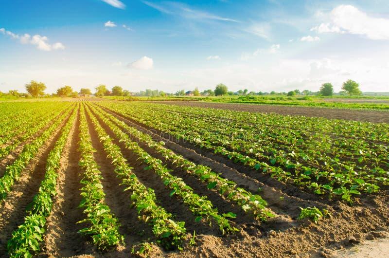 Les jeunes aubergines se développent dans le domaine rangées végétales Agriculture, cultivant champs Paysage avec la terre agrico photos libres de droits