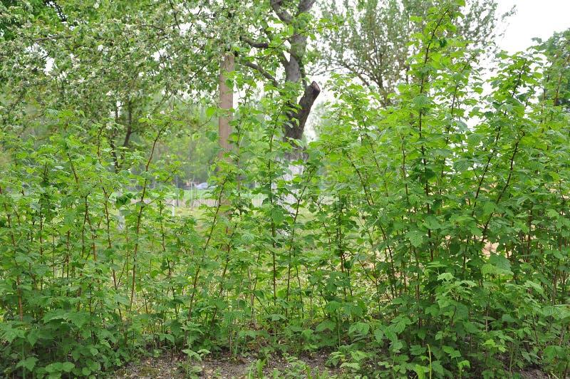 Les jeunes cannes de framboise de vert de ressort se d?veloppent dans le jardin photographie stock