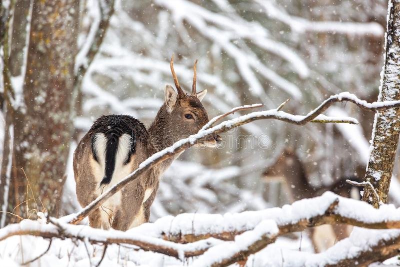 Les jeunes cerfs communs nobles américains se tenant dans la forêt d'hiver pendant la tempête de neige Horizontal normal photos libres de droits