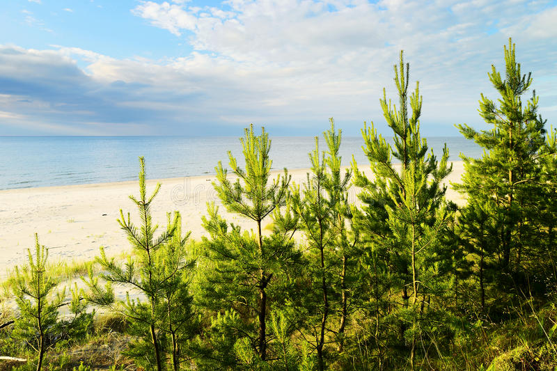 Les jeunes Ecossais ou arbres de sylvestris de pinus de pin écossais s'élevant sur des dunes s'approchent de la mer baltique image stock