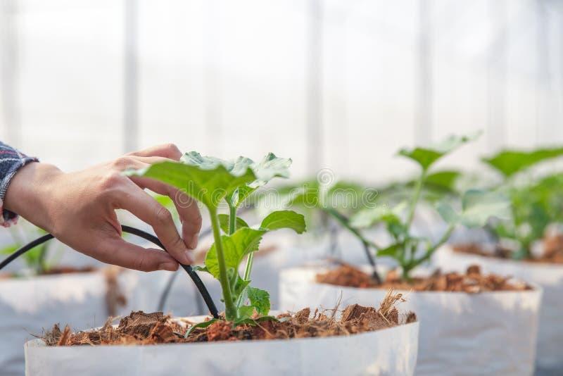 Les jeunes exploitants agricoles analysent la croissance des effets de melon sur des fermes de serre chaude photographie stock