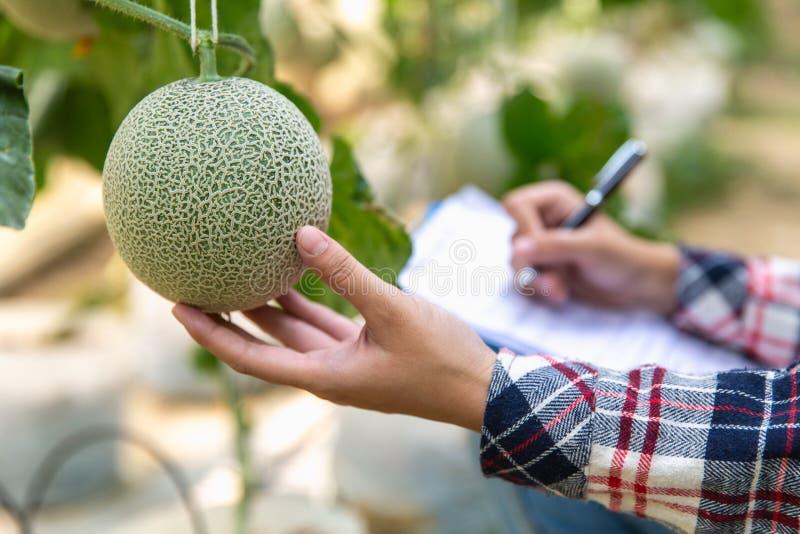 Les jeunes exploitants agricoles analysent la croissance des effets de melon sur des fermes de serre chaude photos libres de droits