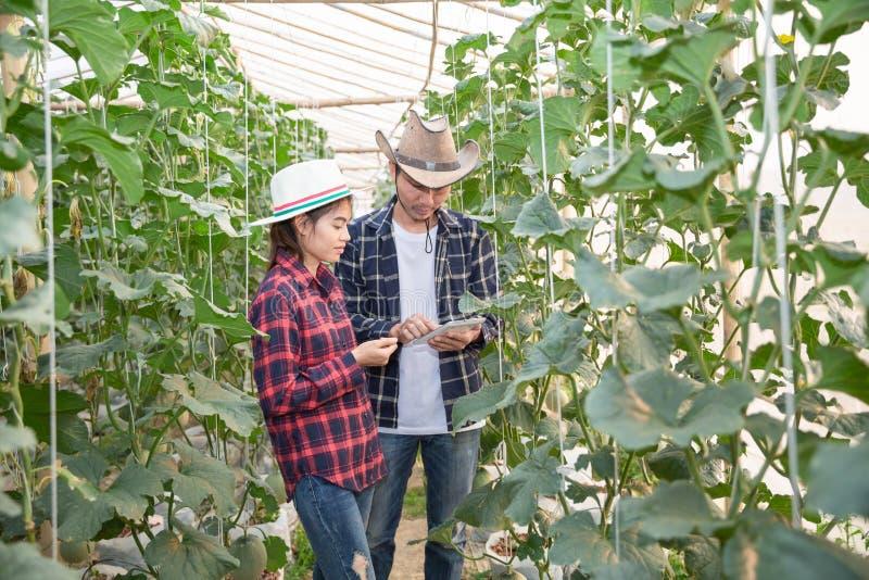 Les jeunes exploitants agricoles analysent la croissance des effets de melon sur des fermes de serre chaude images stock