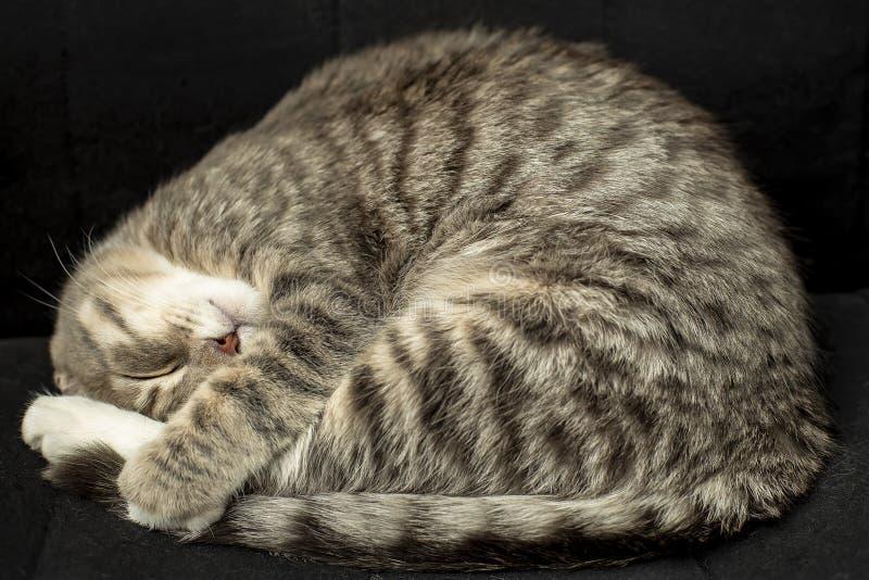 Les jeunes gros sommeils mignons de chat étroitement se sont courbés dans une chaise noire photos stock