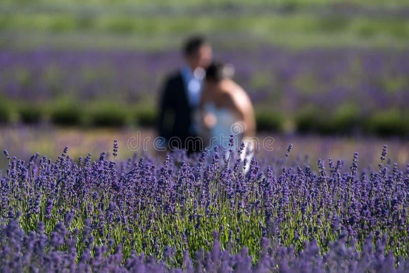 Les jeunes mariés ont brouillé avoir l'amusement dans un domaine de lavande à une ferme de fleur dans le Cotswolds, R-U photos stock