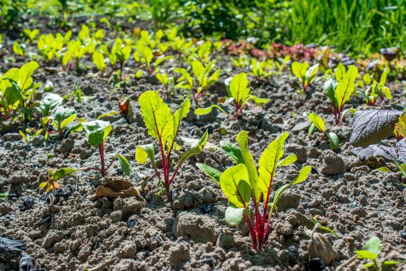 Les jeunes petites betteraves verdoyantes transplantent le chant au lit dans le jardin pendant le ressort photographie stock libre de droits