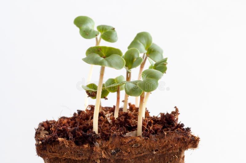 les jeunes plantes de radis raphanus sativus un jeune. Black Bedroom Furniture Sets. Home Design Ideas