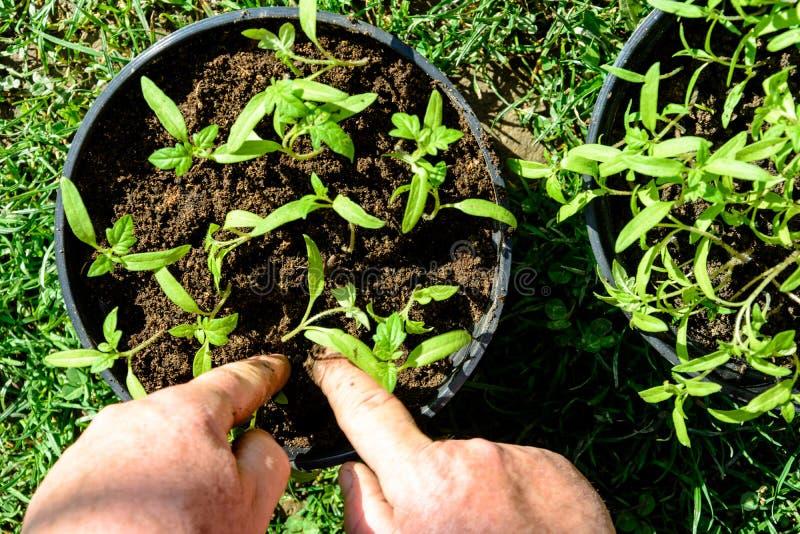 Les jeunes plantes de tomate dans des pots sont prêtes à planter dans la terre ou la serre chaude ouverte photos libres de droits