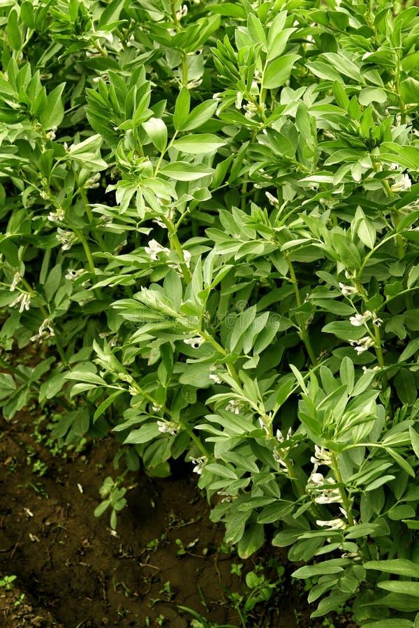 Les jeunes jeunes plantes organiques de haricots noirs se développent dans la terre Plantes de haricot dans le jardin images stock