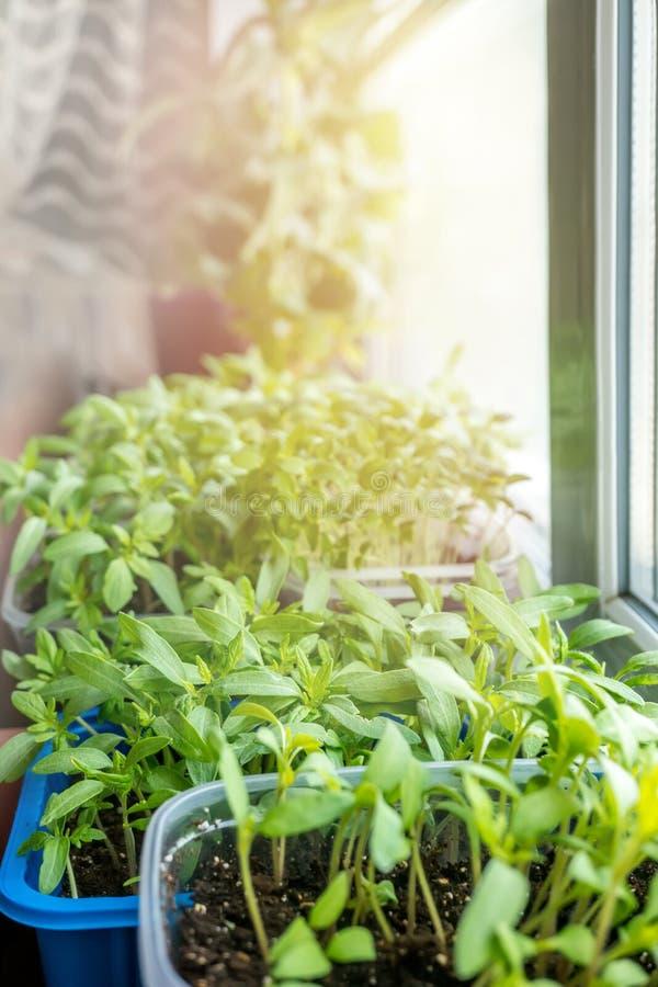 Les jeunes plantes végétales pour le jardin urbain et le potager se développent dans un récipient en plastique sur une fenêtre da image stock