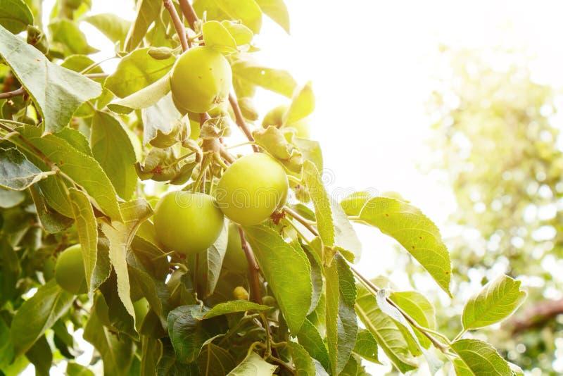 Les jeunes pommes mûrissent sous les rayons du soleil de juin image stock
