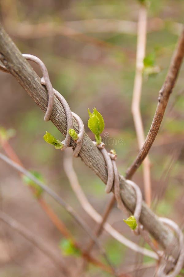 Les jeunes poussent au printemps le temps image stock