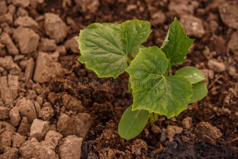 Les jeunes pousses du concombre en serre chaude en terre fertile images libres de droits