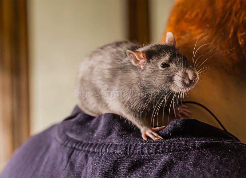 Les jeunes promenades grises velues d'animal familier de rat apprend communiquent avec des personnes se repose sur les regards ad photographie stock libre de droits