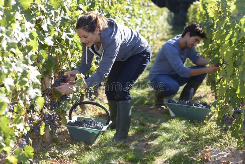 Les jeunes travaillant dur dans le vignoble photographie stock