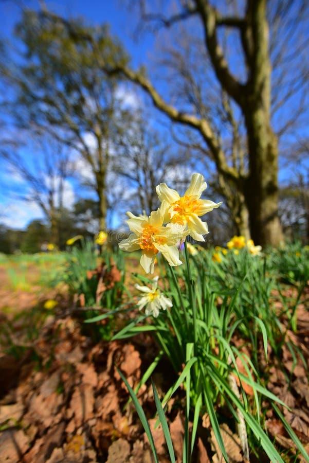 Les jonquilles fleurissent à Cornwall Park en Nouvelle-Zélande photos stock