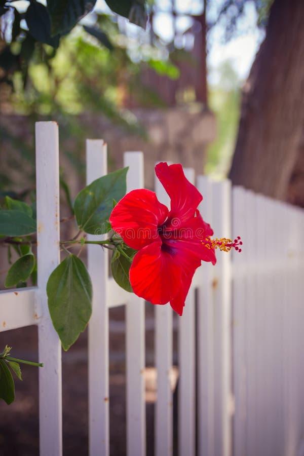 Les ketmies rouges fleurissent près d'une profondeur en gros plan de barrière blanche de photo stock