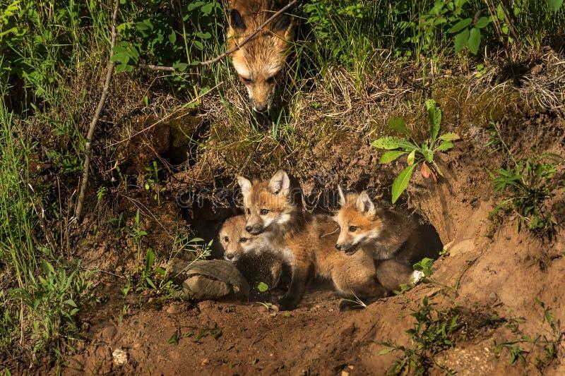 Les kits de Fox rouge dans le repaire (vulpes de Vulpes) enfantent l'observation d'en haut photo stock