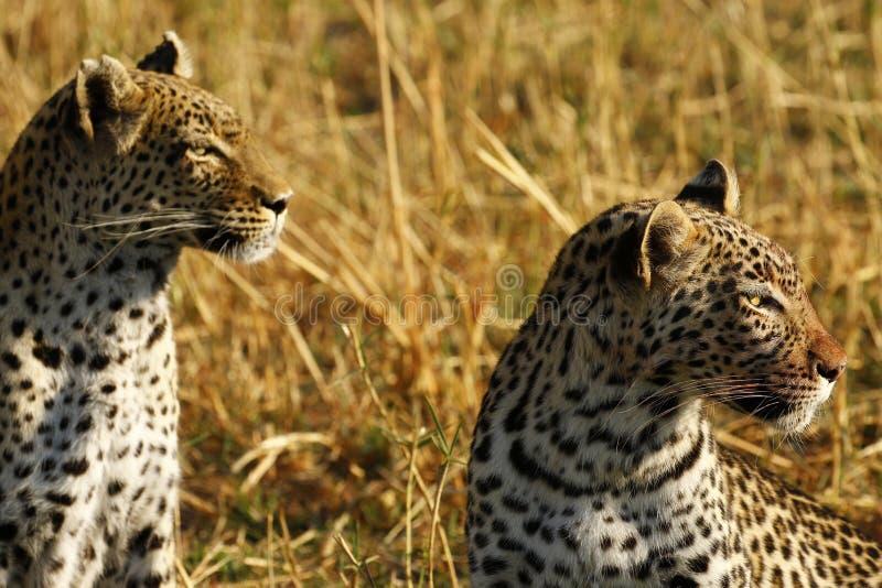 Les léopards sauvages renversants dans le ` s de Botwana baguent la plaine photographie stock