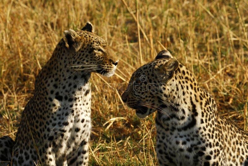 Les léopards sauvages renversants dans le ` s de Botwana baguent la plaine photo libre de droits
