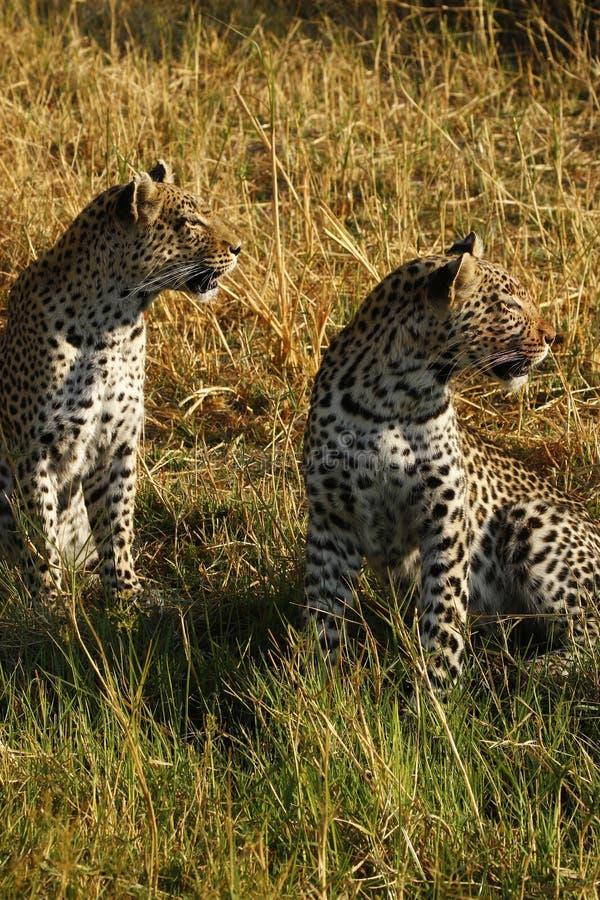 Les léopards sauvages renversants dans le ` s de Botwana baguent la plaine images libres de droits