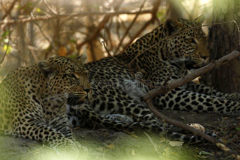 Les léopards sauvages renversants dans le ` s de Botwana baguent la plaine photos stock