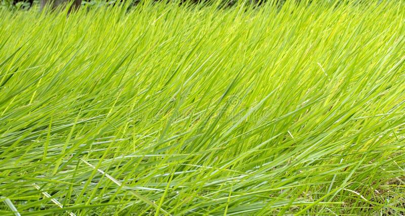 Les lames d'herbe verte, échoue le fond photos libres de droits