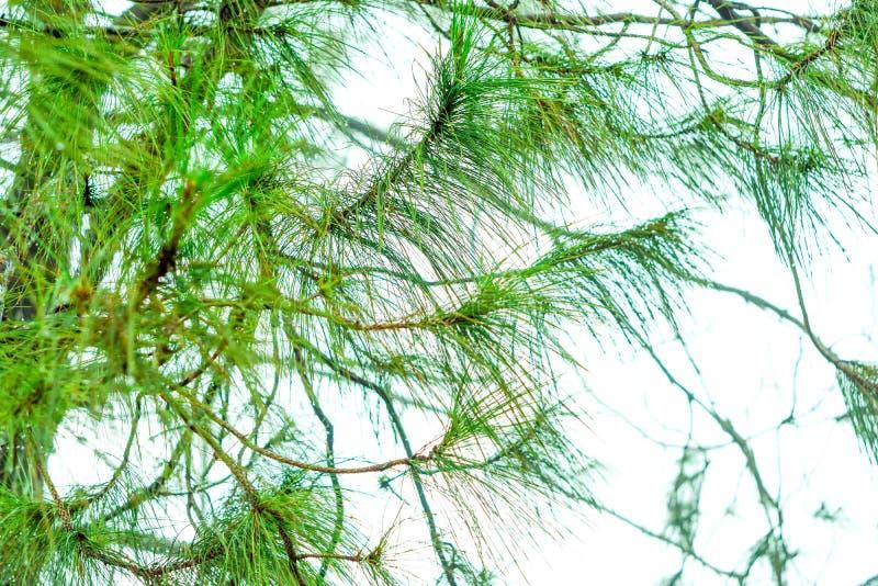 les lames de pin avec la pluie se laisse tomber pour le fond, temps en hiver images libres de droits