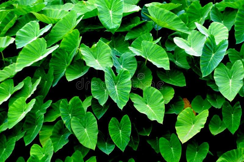 Les lames vertes de taro photo stock