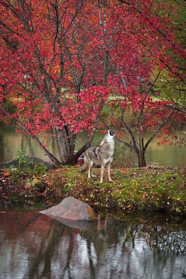 Les latrans de Canis de coyote soulève la tête pour hurler l'automne d'île photo stock