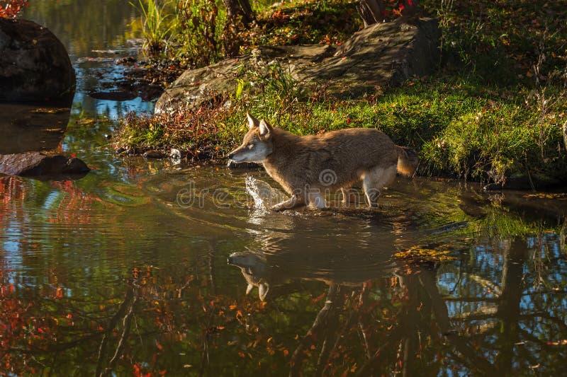 Les latrans de Canis de coyote éclabousse dans l'eau image libre de droits