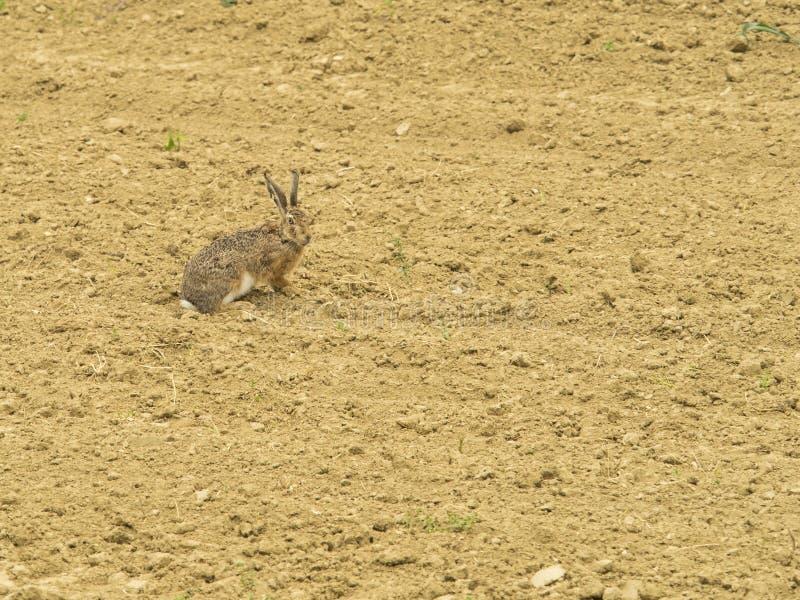 Les lièvres ont camouflé des recherches de nourriture dans le domaine image stock