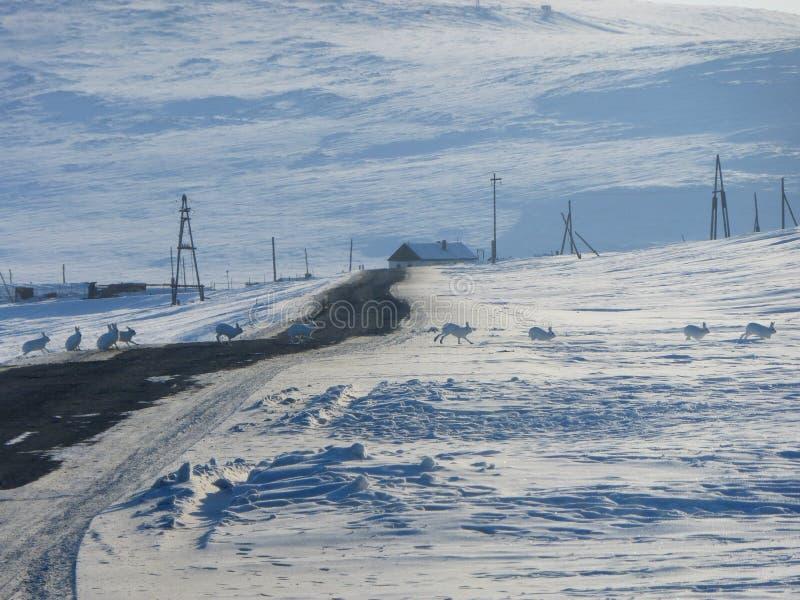 Les lièvres polaires traversent la route photos libres de droits
