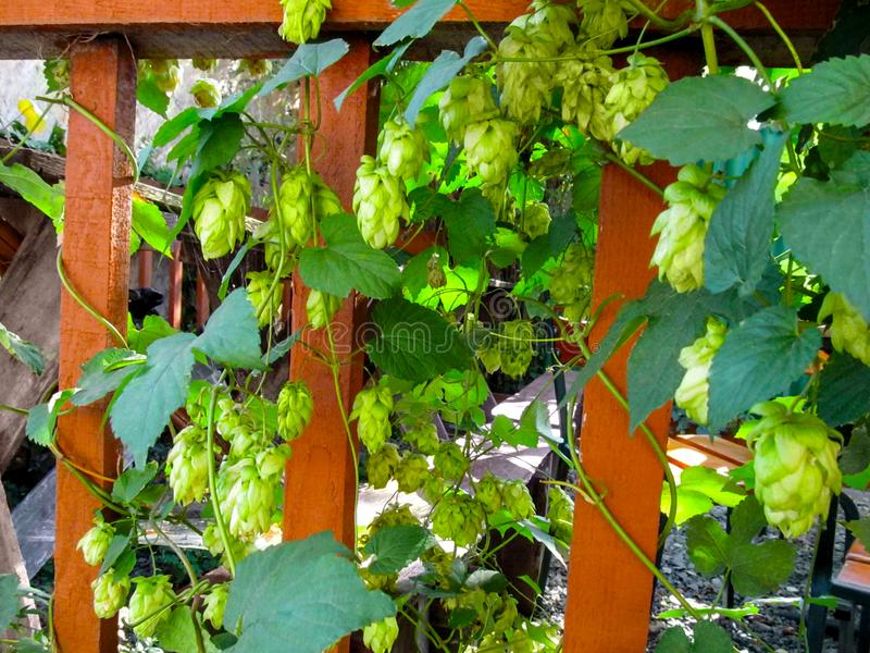 Les lianes du Humulus avec les feuilles et les fleurs vertes de cônes de graine s'élèvent le long de la barrière en bois photos libres de droits