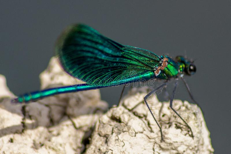 Les libellules ont une tête très volumineuse, les yeux ont composé de l'ommatidia environ 50 000 et des antennes relativement cou images stock