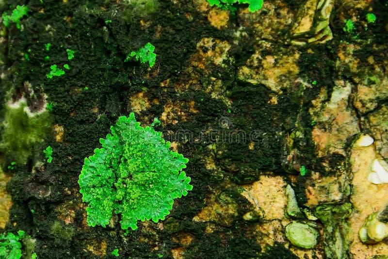 Les lichens se produisent dans les secteurs avec le humidité élevé photos libres de droits