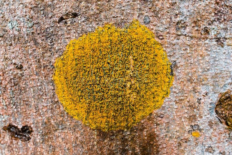 Les lichens sont les champignons symbiotiques image stock